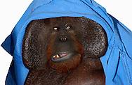 Deutschland, DEU, Krefeld, 2004: Projekt ueber die biologischen Wurzeln der Mode. Die Shootings hierfuer wurden mit Grossen Menschenaffen, die dem Menschen am naechsten sind, im Krefelder Zoo gemacht. Die Tiere waren weder zahm noch trainiert. Die Kleidungsstuecke wurden in die Gehege geworfen und was immer die Tiere damit anstellten, taten sie aus sich selbst heraus. Ein Eingreifen oder gar eine Regie war unmoeglich. Da das Verhalten der Affen im Mittelpunkt stand, wurden die Hintergruende von den Originalfotografien entfernt. Das Orang-Utan-Weibchen Sita mit einer Decke. | Germany, DEU, Krefeld, 2004: Project to look at the basics and roots of fashion. The shootings took place in the Zoo Krefeld with three species of Great Apes who are the nearest to us. The animals were neither tamed nor trained. Whatever the animals did, they did on their own. Any intervention or directing was impossible. To set the focus on the behaviour of the animals itself we removed the background from the original photographs. Orang Utan (Pongo pygmaeus) female Sita with a blanket. |
