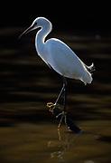 Snowy egret,  Leucophoyx thula, Everglades National Park, Florida.