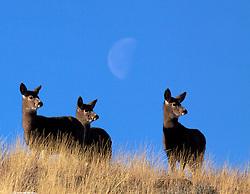 Three doe mule deer, moon, Absaroka Mountains, Cody, Wyoming