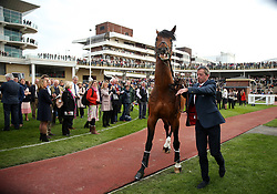 Equine superstars Big Star being walk around in the paddock during the April Meeting at Cheltenham Racecourse