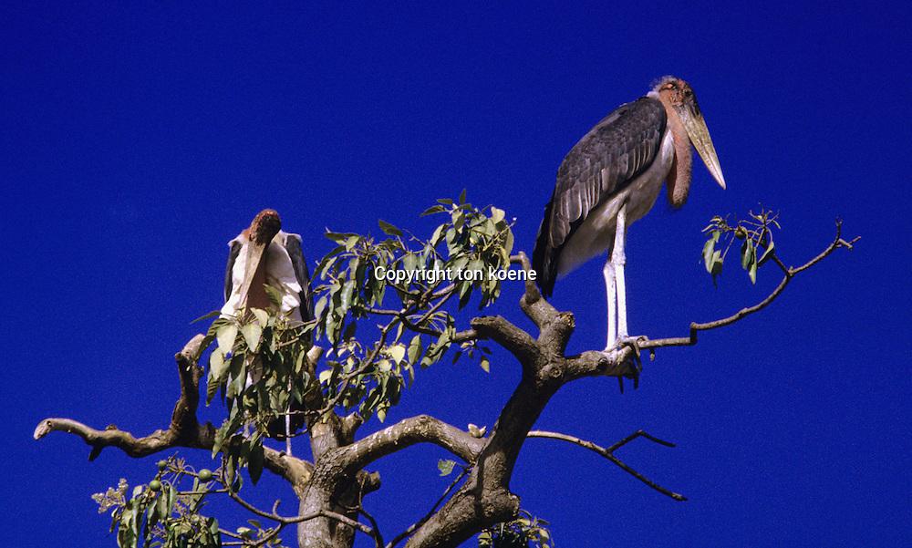 Stork in Uganda