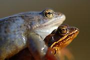 Moor Frog (Rana arvalis), mating | Moorfrosch (Rana arvalis) beim laichen