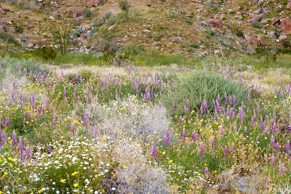 bontiful flush of springtime desert wildflowers in the Anza Borrego Desert, California, USA