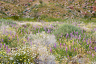 bontiful flush of springtime desert wildflowers in the Anza Borrego Desert, California, USA