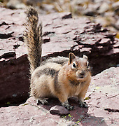 The Golden Mantled Ground Squirrel thrives in Glacier National Park, Montana, USA. Since 1932, Canada and USA have shared Waterton-Glacier International Peace Park, which UNESCO declared a World Heritage Site (1995) containing two Biosphere Reserves (1976). Rocks in the park are primarily sedimentary layers deposited in shallow seas over 1.6 billion to 800 million years ago. During the tectonic formation of the Rocky Mountains 170 million years ago, the Lewis Overthrust displaced these old rocks over newer Cretaceous age rocks.