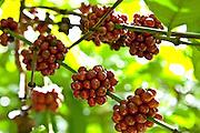 Coffee berries growing at the Sandra Farms plantation in Adjuntas, Puerto Rico.
