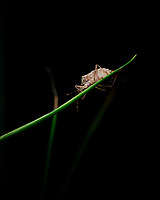 Stink Bug on a Bunching Onion stalk.Image taken with a Fuji X-T3 camera and 80 mm f/2.8 macro lens (ISO 200, 80 mm, f/11, 1/60 sec)