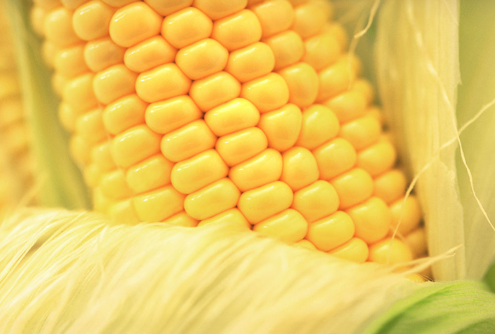 Extreme close up of a half shucked ear of yellow corn