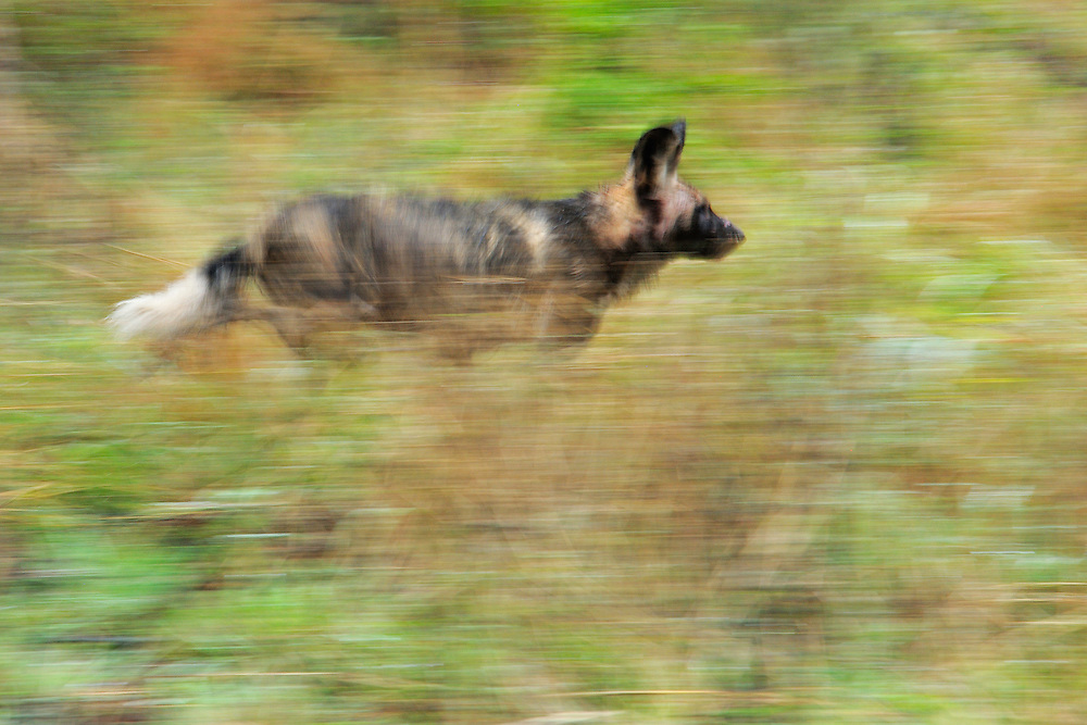 African Wild Dog, Painted dog, Lycaon pictus<br /> iMfolozi NP South Africa. It is on the chase of an Impala antelope, running through the bush att high speed