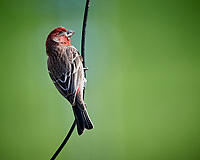 Male House Finch. Image taken with a Nikon D5 camera and 600 mm f/4 VR lens (ISO 1600, 600 mm, f/5.6, 1/1250 sec)