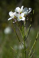 Milk maids, Dentaria californica (Cardamine californica). Mount Diablo State Park, California