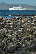 Marine Iguana, Amblyrhynchus cristatus. Fernandina Island, , with La Pinta Cruise Ship in the ditance. Galapagos, Ecuador, South America