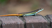 Male rainbow skink (Trachylepis margaritifera) from Kruger NP, South Africa.