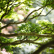 Japanese Maple is already leafed out and forming seed pods at the Seattle Japanese Garden. (Steve Ringman / The Seattle Times)