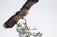White-tailed Sea Eagle bird, Haliaeetus albicilla, photographed while flying in Kalvtrask, Vasterbotten, Sweden