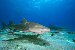 Lemon Sharks, Negaprion brevirostris, and scuba divers, West End, Grand Bahama, Bahamas, Caribbean, Atlantic Ocean
