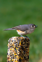 A Tufted Titmouse standing on a seed treat defending it like he is king of the mountain