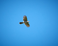 Cooper's Hawk. Image taken with a D2xs camera and 200-400 mm f/4 VR lens.