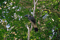 Bushy-crested Hornbill (Anorrhinus galeritus) perched on a branch..Gunung Palung National Park, Borneo, Indonesia