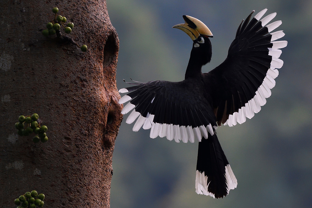 Oriental Pied hornbill, Anthracoceros albirostris, bird flying to a tree at Tongbiguan nature reserve, Dehong Prefecture, Yunnan Province, China