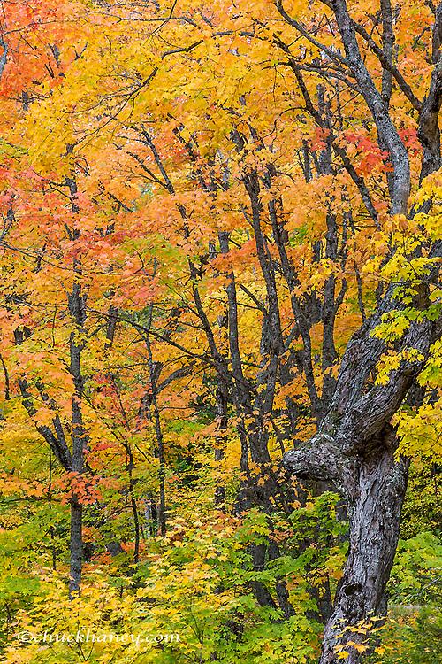 Autumn color in the forest near Copper Harbor, Michigan, USA