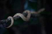 Itanhaem_SP, Brazil.<br /> <br /> Ilha de Queimada Grande e uma ilha localizada em Itanhaem, Sao Paulo, possui grande quantidade de cobras, especialmente a Jararaca-ilhoa (Bothrops insularis), especie endemica da ilha e, segundo alguns cientistas, a cobra venenosa com a peconha mais potente do mundo.<br /> <br /> Ilha de Queimada Grande is an island located in Itanhaem, Sao Paulo, has lot of snakes, especially Golden lancehead (Bothrops insularisIlha), endemic species of the island and according to some scientists a poisonous snake with venom more potent in the world. <br /> <br /> Foto: JOAO MARCOS ROSA /NITRO