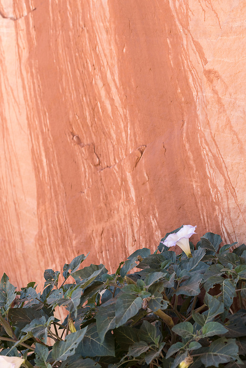 Sacrad datura blooming at the base of a cliff in Grand Staircase - Escalante National Monument, Utah.
