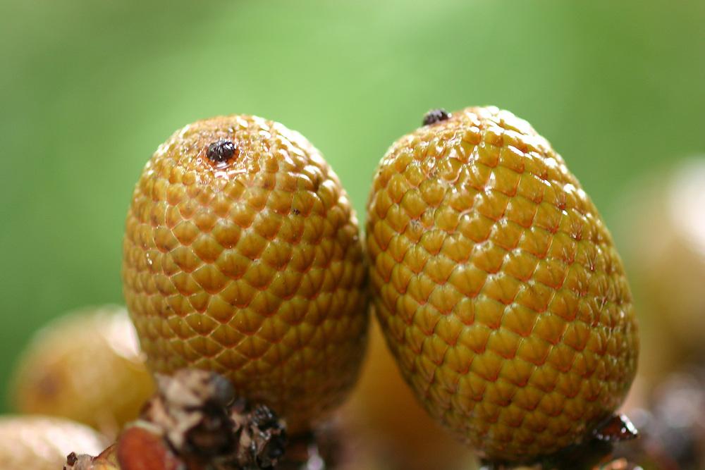 Manaus_AM, Brasil.<br /> <br /> Fruto do burirti (Mauritia flexuosa) em Manaus, Amazonas.<br /> <br /> Moriche palm (Mauritia flexuosa) in Manaus, Amazonas.<br /> <br /> Foto: JOAO MARCOS ROSA / NITRO