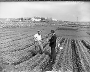 Carna. Growing Crops, Boat Bulding with the Cloherty family..14/05/1959<br /> Gael Linn assisting farmers to produce new crops for the quick-freeze vegetable market. Here Seosam O hUaithnim, of Mas (Carna) (left) gets advice on his pea crop from Department of Agriculture Inspector Tomas O Bruadair, who is assisting Gael Linn in the project.
