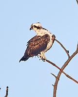 Osprey (Pandion haliaetus). Fort De Soto Park. Pinellas County, Florida. Image taken with a Nikon D3x camera and 600 mm f/4 VR lens.