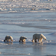 A mother and her two cubs check out the newly forming ice along the edges of Hudson Bay at Cape Churchill, Manitoba.