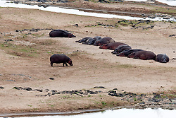 Group of hippopotamus (Hippopotamus amphibius) resting on riverbank, Kruger National Park, South Africa