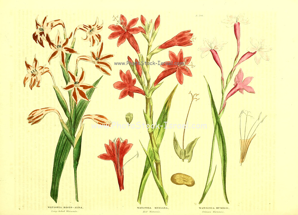Watsonia (Iris) from Vol II of the book The universal herbal : or botanical, medical and agricultural dictionary : containing an account of all known plants in the world, arranged according to the Linnean system. Specifying the uses to which they are or may be applied By Thomas Green,  Published in 1816 by Nuttall, Fisher & Co. in Liverpool and Printed at the Caxton Press by H. Fisher