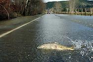 Salmon making their migration across a flooded road near the Skokomish River in Mason County, WA, Thursday, Nov. 16, 2006. (Photo/John Froschauer)<br />