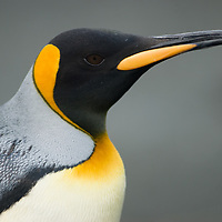 A King Penguin stands on a beach at Gold Harbor, South Georgia, Antarctica.