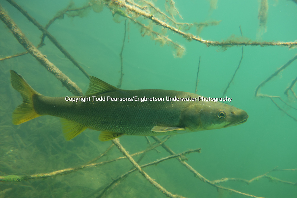 Northern Pikeminnow<br /> <br /> Todd Pearsons/Engbretson Underwater Photography