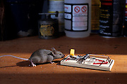 European house mouse (Mus musculus) in a cupboard with a mousetrap at night . Captive