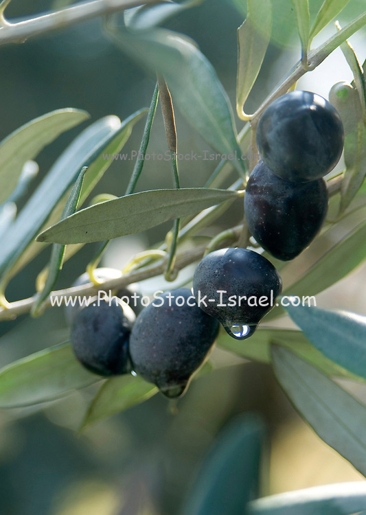 Israel, Galilee, close up of the black olives, branches and leaves of an Olive tree