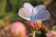 Common Blue (Polyommatus icarus) Butterfly shot in Israel, Summer August