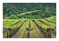 Vineyards of Alexander Valley, a northern section of the greater Sonoma Valley,  California