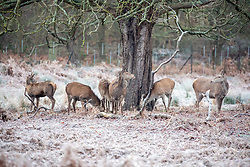 © Licensed to London News Pictures. 24/01/2021. London, UK. Deer graze on the frozen grass as runners and walkers enjoy a frosty start with lows of -4 in Richmond Park South West London this morning. A chilly day ahead is forecast for the South East with the Met Office issuing a yellow weather warning for snow and ice for today with disruption to travel as the cold weather continues. Photo credit: Alex Lentati/LNP