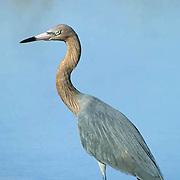 Reddish Egret, (Egretta rufescens) Portrait of bird fishing in mangrove estuary. Florida Keys.