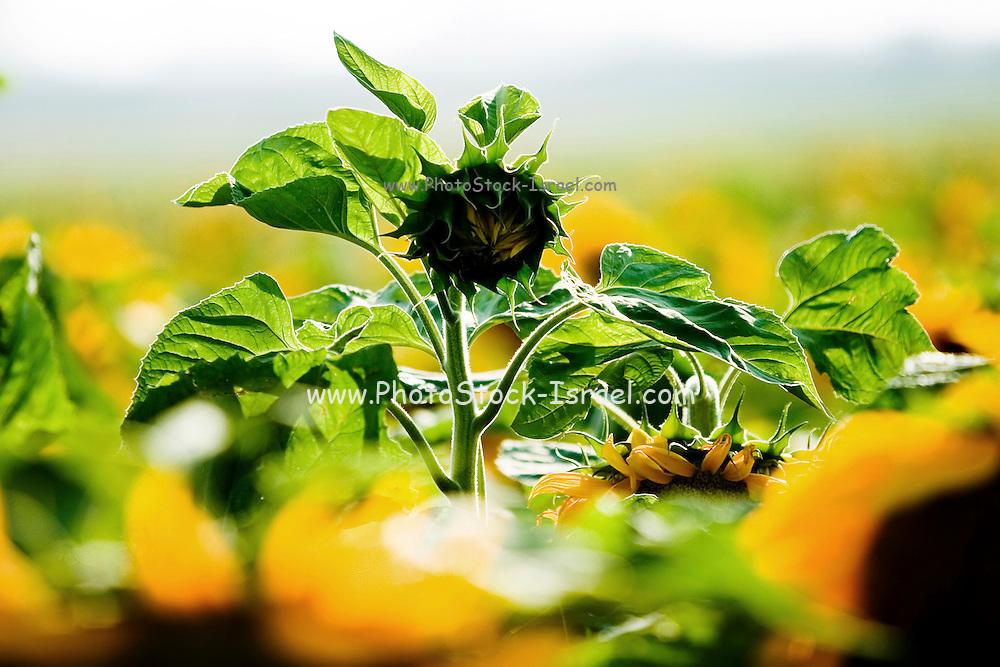 sunflower bud in a field of sunflowers