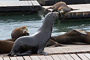 San Francisco California USA, California Sea lions, Zalophus californianus, on pier 39 Fishermen's Wharf  October 2006