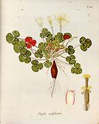 Woodsorrel (Oxalis sulphurea). Illustration from 'Oxalis Monographia iconibus illustrata' by Nikolaus Joseph Jacquin (1797-1798). published 1794
