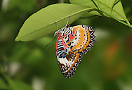 Butterfly, Leopard Lacewing, Cethosia Cyane, Native To India