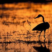 Africa, Botswana, Moremi Game Reserve, Yellow-bill Egret (E. intermedia) fishes in Khwai River at sunset.