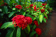 Ixora, jungle flame flower<br />
