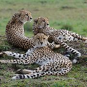 Cheetah (Acinonyx jubatus) Trio of male siblings resting on mound. Serengeti Plains. Masai Mara Game Reserve. Kenya. Africa.