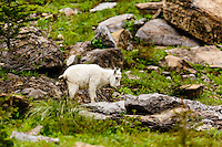 Wildlife seen while travelling the Going-to-the-Sun road through Logan Pass in Glacier National Park<br /> <br /> ©2016, Sean Phillips<br /> http://www.RiverwoodPhotography.com